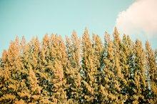 Beautiful pine trees and blue sky