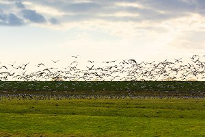 Goose flying away sunset