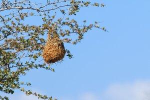 Nest weaver bird hanging on branch