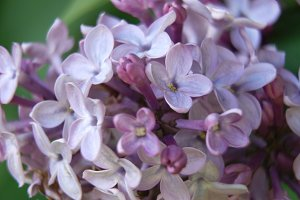 Lilac flower on a summer day