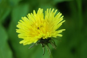 Yellow dandelion in a meadow.