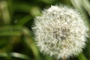 Dandelion Seed Head.