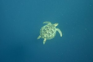 Sea turtle under water.