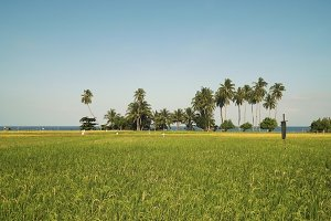 Green rice field.. Philippines