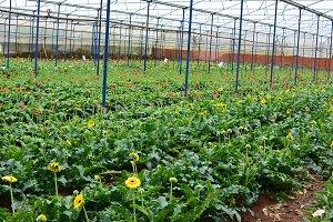 Flower plantage