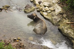Bull lying in the river.