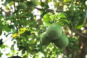 Pomelo fruit tree in the garden.