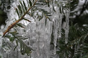 Icicles on Northern Evergreen Tree