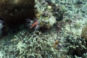 Coral reef and tropical fish, lionfish. Philippines