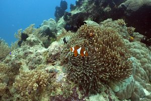 Clownfish Anemonefish in anemone.