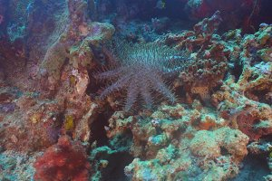 Crown thorns starfish on coral.