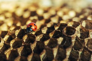 ladybug honeycomb bee macro