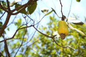 Nut Tree Cashew Growing Nuts. Busuanga, Palawan, Philippines.