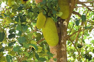 Jackfruit on the tree.