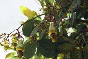 Nut Tree Cashew Growing Nuts. Busuan