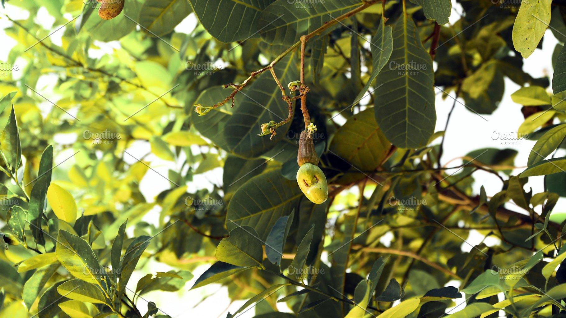 Nut Tree Cashew Growing Nuts  Busuanga, Palawan, Philippines