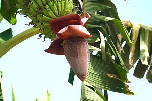 Fruits of bananas on a banana tree.