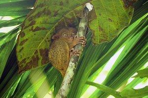 Funny Philippine tarsier Tarsius syrichta . Bohol Philippines