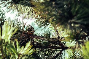 pine tree coniferous forest