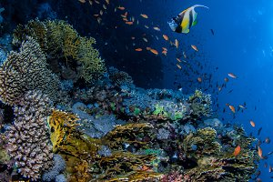 Coral reef and banner fish