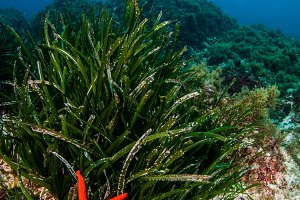 red starfish in the posidonia