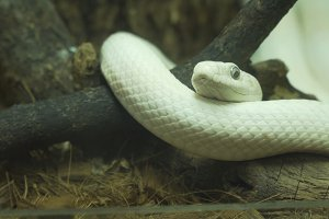 White snake lies on a branch