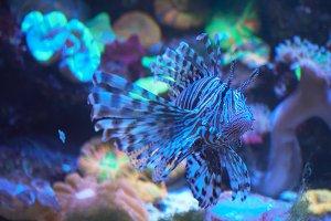 Lion fish, coral reef underwater.