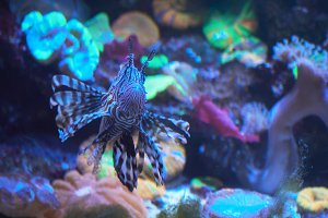 Lion fish, coral reef underwater.