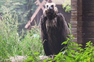 Griffin Vulture Gyps fulvus.
