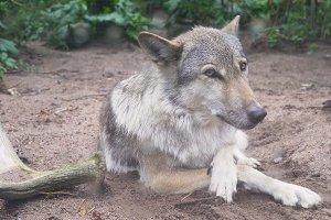 Grey Wolf,Canis lupus, Portrait