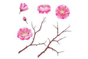 Set of sakura buds or cherry blossom and branches. Japanese blooming flowers