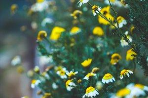 Spring. Vintage meadow wild chamomil