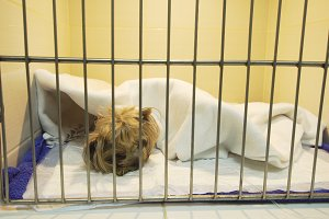 Dog in cage after surgery