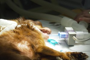 Dog in the operating room prepares for surgery