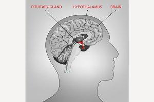 Endocrine System Image