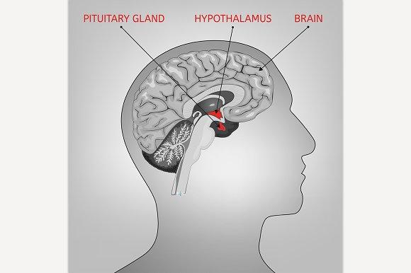 Endocrine System Image in Illustrations