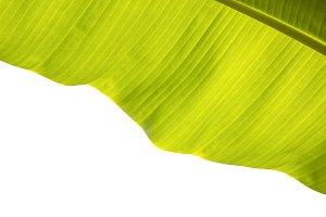 Banana leaf surface