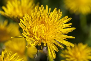 yellow dandelions in spring