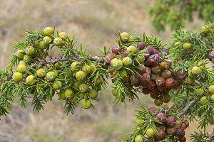 Cones of prickly juniper.