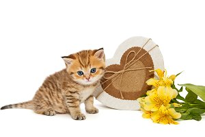 British kitten and flowers