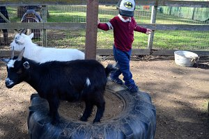 Baby Goats Playing With Boy On Tire.