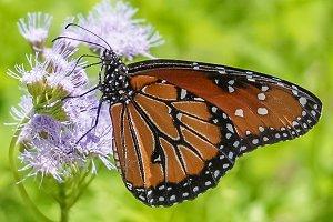 Transformation: Monarch Butterfly