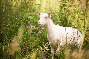 Goat Emerges from Long Grass