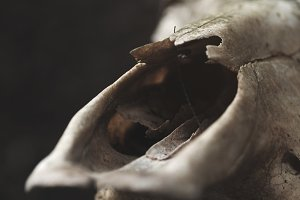 close up details of bull's skull on a black wall background. selective focus