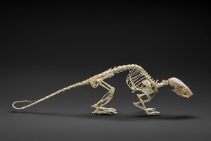 Natural skeleton of rat.