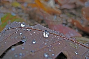 brown leaf w drops.jpg