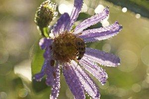 Bug on purple dew flower.jpg