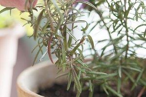 Pruning plant Romero