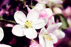 Moody Spring Apple Blossoms