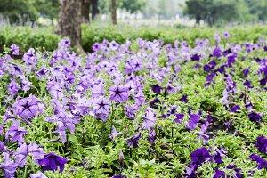 Violet flower in the garden